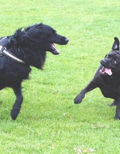 spielende_Hunde